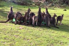 Una famiglia dei canguri nella mia iarda immagine stock