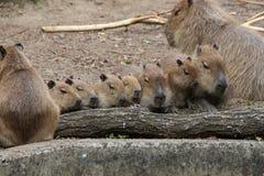 Una famiglia dei capybaras Fotografie Stock Libere da Diritti