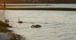 Una famiglia dei cigni bianchi nuota lungo il lago di autunno stock footage