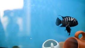 Una famiglia dei galleggianti nero-a strisce di cichlasomas si affolla Due femmine ed un maschio proteggere il loro territorio ne video d archivio