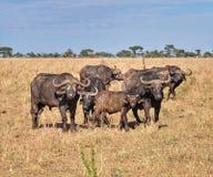 Una famiglia del bufalo nel parco di Serengeti Fotografia Stock