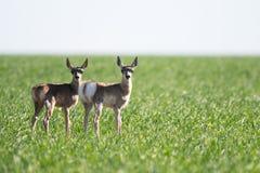 Una famiglia dell'antilope di Pronghorn sulle praterie Fotografie Stock