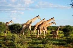 Una famiglia della giraffa Immagini Stock