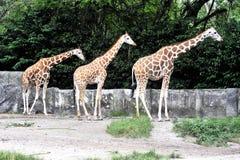Una famiglia della giraffa Immagini Stock Libere da Diritti