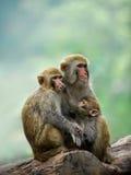 Una famiglia della scimmia Immagini Stock