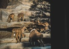 Una famiglia delle capre selvatiche nel selvaggio un giorno soleggiato fotografia stock libera da diritti