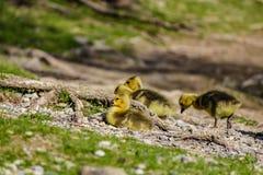 Una famiglia delle oche al grande fiume immagine stock