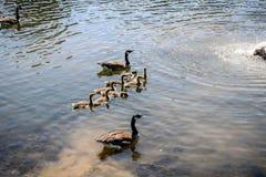 Una famiglia delle oche del Canada va per una nuotata Fotografia Stock Libera da Diritti