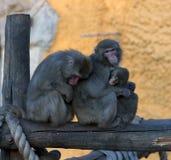 Una famiglia delle scimmie Fotografie Stock Libere da Diritti