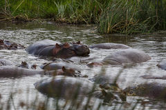 Una famiglia di rilassamento degli ippopotami fotografie stock
