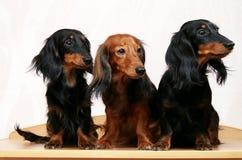 Una famiglia di tre bassotti tedeschi Immagine Stock