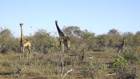 Una famiglia di tre giraffe video d archivio