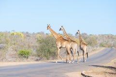 Una famiglia di tre giraffe che attraversano la strada nel parco nazionale di Kruger, destinazione principale di viaggio nel Suda Immagini Stock Libere da Diritti