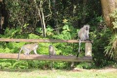 Una famiglia di velluto monkeys sul recintare Sudafrica Fotografia Stock Libera da Diritti