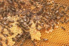 Una familia de abejas recolecta y lleva la miel en panales encerados Colmena del apicultor Imagen de archivo