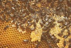 Una familia de abejas recolecta y lleva la miel en panales encerados Colmena del apicultor Imagen de archivo libre de regalías