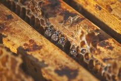 Una familia de abejas recolecta y lleva la miel en panales encerados El enjambre de la abeja mira fuera del marco de la colmena Fotografía de archivo