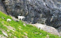 Una familia de cabras de montaña alimenta adentro el Parque Nacional Glacier Imagen de archivo libre de regalías