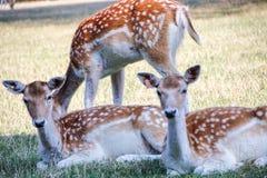 Una familia de ciervos Imagen de archivo libre de regalías