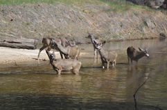 Una familia de ciervos Imagen de archivo