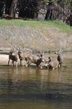 Una familia de ciervos Imágenes de archivo libres de regalías