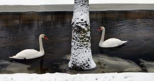 Una familia de cisnes blancos Fotos de archivo libres de regalías