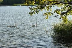 Una familia de cisnes que nadan en la playa imagenes de archivo