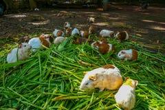 Una familia de conejillos de Indias Foto de archivo libre de regalías