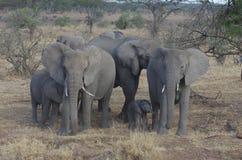 Una familia de elefante africano Fotografía de archivo