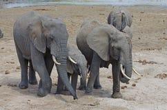 Una familia de elefante africano Fotos de archivo libres de regalías