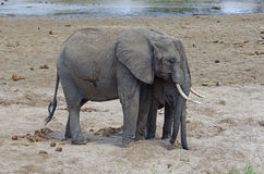 Una familia de elefante africano Imagen de archivo libre de regalías