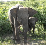 Una familia de elefantes cariñosos Foto de archivo