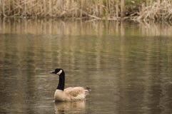 Una familia de gansos Fotos de archivo libres de regalías