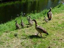 Una familia de gansos Foto de archivo