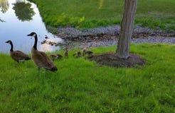 Una familia de gansos canadienses Foto de archivo