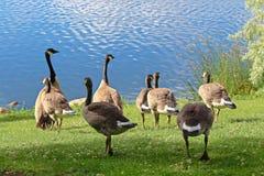 Una familia de gansos canadienses por el agua Fotografía de archivo