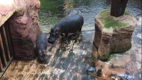Una familia de hipopótamos con un becerro del bebé fuera de la piscina en el parque zoológico almacen de metraje de vídeo
