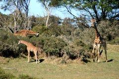 Una familia de jirafa Imagen de archivo