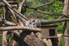 Una familia de lémures se está sentando Imagen de archivo