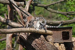 Una familia de lémures se está sentando Imagen de archivo libre de regalías