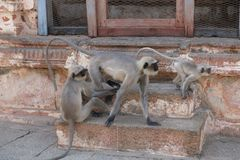 Una familia de monos de las caras negras, la India foto de archivo