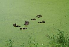 Una familia de patos Imagen de archivo