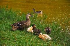 Una familia de patos cerca del lago Foto de archivo