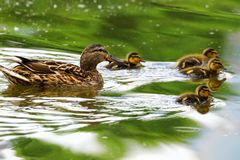 Una familia de patos, el pato de la madre y los anadones nadan en el agua foto de archivo