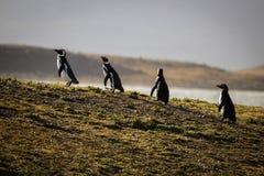 Una familia de pingüinos imagen de archivo libre de regalías