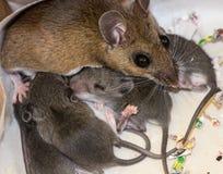 Una familia de ratones de casa imágenes de archivo libres de regalías