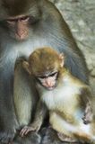 Una familia del mono Fotos de archivo libres de regalías