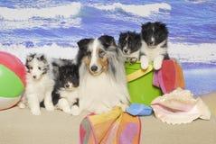 Una familia del perro pastor de Shetland en una playa Fotos de archivo