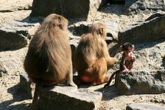Una familia y un bebé del babuino Imagen de archivo