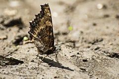 Una farfalla, ali chiuse sulla terra nuda Immagine Stock Libera da Diritti